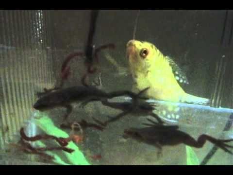 Feeding My African Dwarf Frogs Youtube