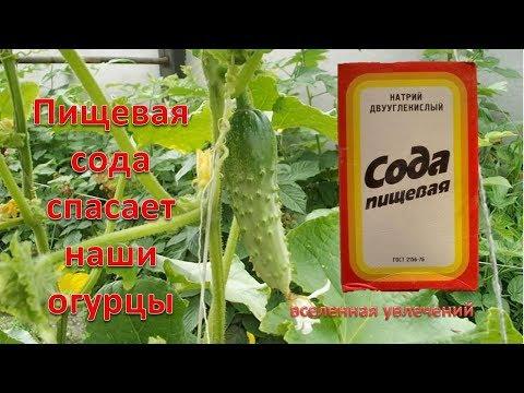 супер средство для огурцов--пищевая сода..убьет вредителей и избавится от болезней v