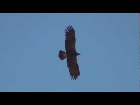 Eastern imperial eagle 4/4 Salalah Oman 03/01/2012