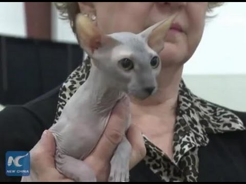 Cat show in Vancouver- rare Peterbald, Sphinx, Cornish Rex, Maine Coon & Singapura