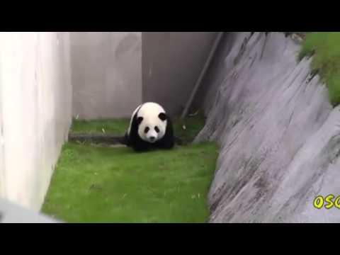 Videos Virales Diciembre 2015 - Oso panda en apuros