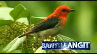 Suara Burung cabe jernih di alam
