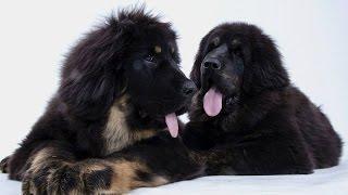 Animal Planet: Порода собак - Тибетский мастиф