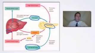 Endocrine System Negative Feedback