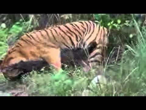 Tadoba-Tiger hunting wild boar