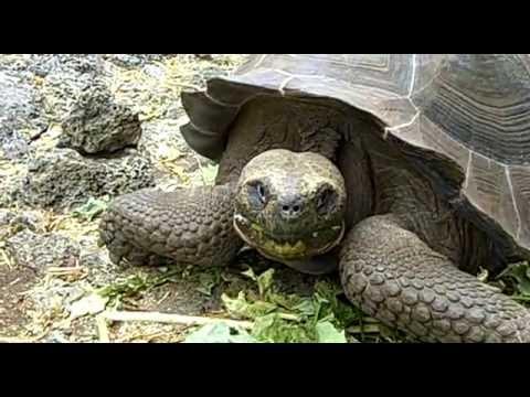 Galápagos tortoise, Charles Darwin Research Station, Santa Cruz Island, Galápagos Islands, Ecuador