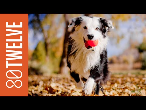 Most Popular Dog Breeds Around the World: 80Twelve NewsFlash | 80Twelve