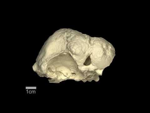 Triopticus - Triassic archosauriform - braincase & brain endocast