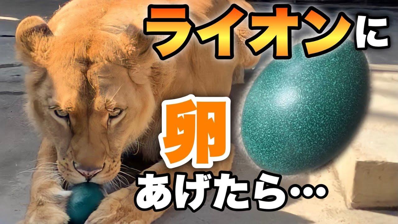 【想定外】ライオンにエミューの卵をあげたら、大変な事態に・・・If you give an emu egg to a lion