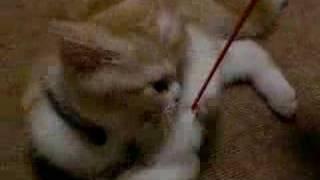 家に来てからまだ1ヶ月以内の仔猫の時の ななみちゃんを撮ったものです。