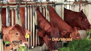 เศรษฐีเกษตร 24/10/58 : การพัฒนาวัวเนื้อเกรดพรีเมี่ยมขายได้กำไรดี