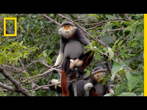 This Endangered Monkey is One of the World's Most Colorful Primates | Short Film Showcase