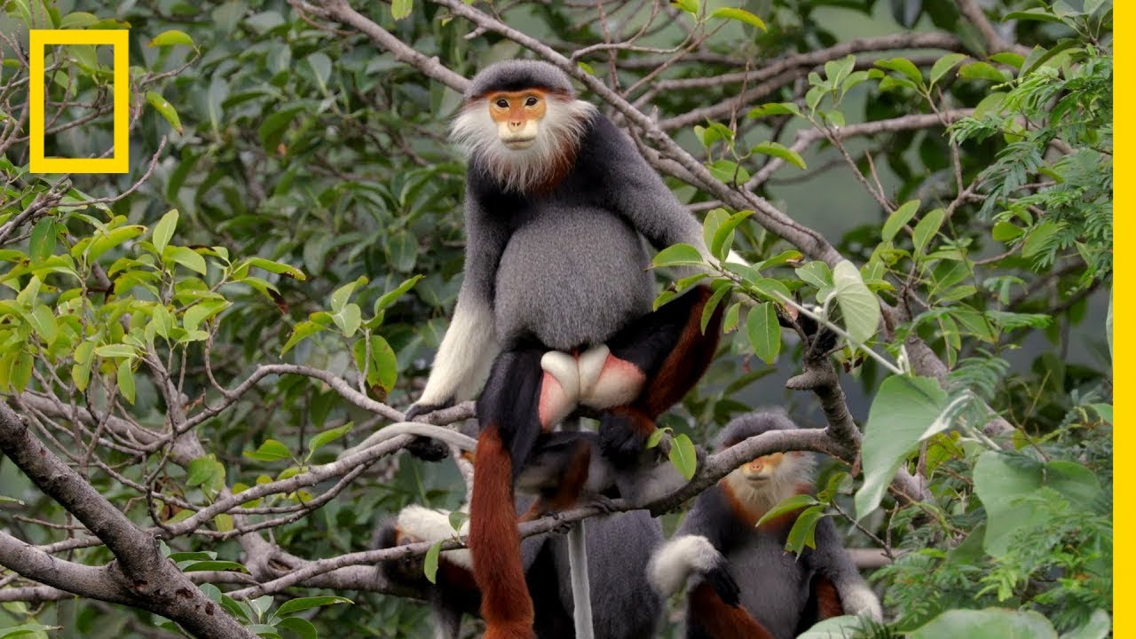 Download This Endangered Monkey is One of the World's Most Colorful Primates | Short Film Showcase