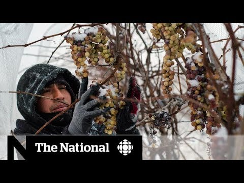 Can the U.S. overtake Canada's dominance in the ice wine industry?