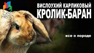 Кролик-баран - Все о виде грызуна | Вид грызуна - Кролик-баранчик