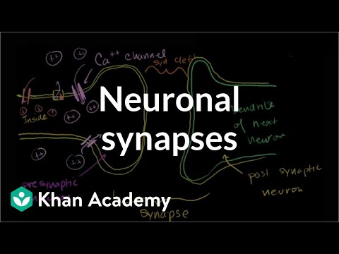 Neuronal Synapses (Chemical)
