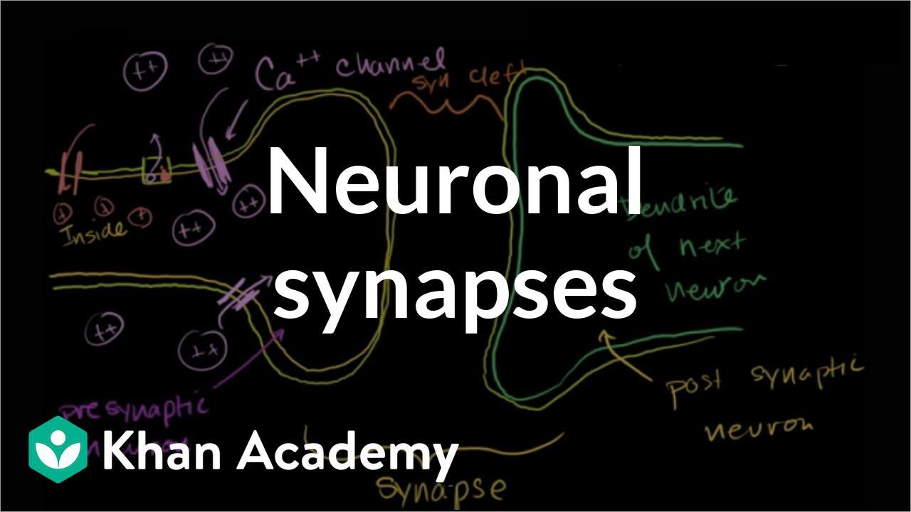 activation and synaptic dynamics in neural network