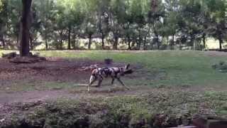 African dog. Африканские собаки.