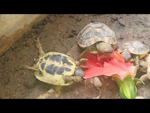 Flipped Over Tortoise Focuses on What's Important: Eating