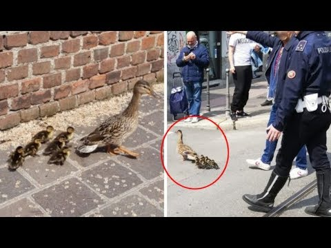 Police Officer Saves Mama Duck And Her Ducklings Who Got Lost In The City