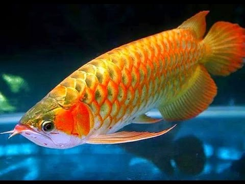 Image result for arowana fish