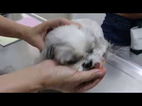 A Shih Tzu has persistent left eye discharge Pt 1