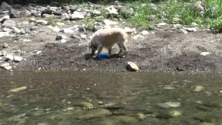愛犬のシャンプーの前に、近所の渓流でひと遊び♪ 最初は水の冷たさにび...