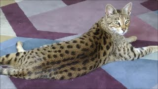 Living with a Savannah cat 3