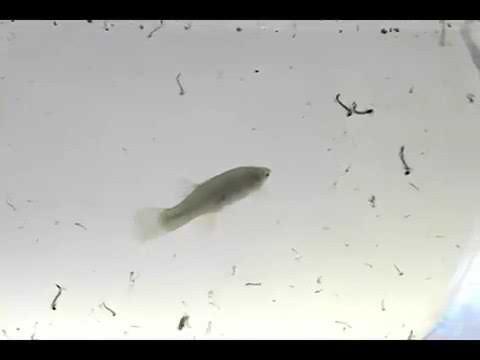 Gambusia Fish Eat Mosquito Larvae