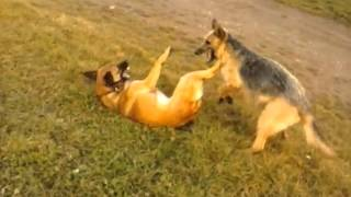 German Shepherd Mix ( Micy ) And Beligian Shepherd Malinois ( Astor ) Playing :-)