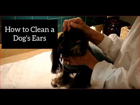 How to Clean a Shih Tzu's Ears
