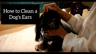 How To Clean A Shih Tzu's Ears
