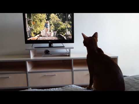 "Abyssinian cat watches movie ""Hachi: A dog's tale"""