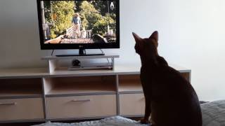 Abyssinian cat watches movie 'Hachi: A dog's tale'