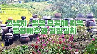 김장 준비도 하셔야지요^^* 작년 완판 신화의 절임배추…
