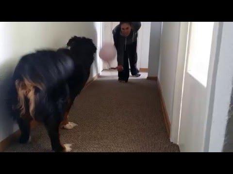 Bernese Mountain Dog vs. Balloon