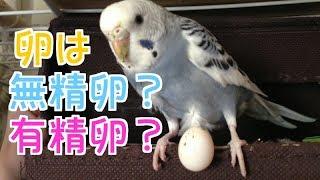 黄緑系のインコ H29/3/19頃産まれ 飼った日5/27 (きいちゃん) 男の子 青...