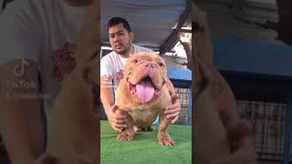 Diet for American Bully Stud