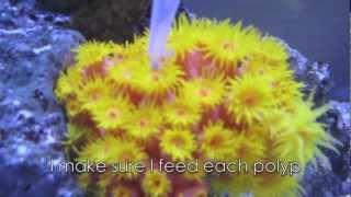 How I feed my Sun Coral (Tubastrea)