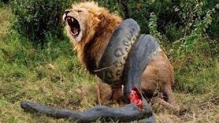5 ცხოველთა შეშლილი ბრძოლა