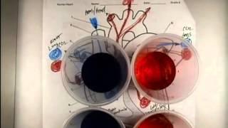 DIY Human Heart Model