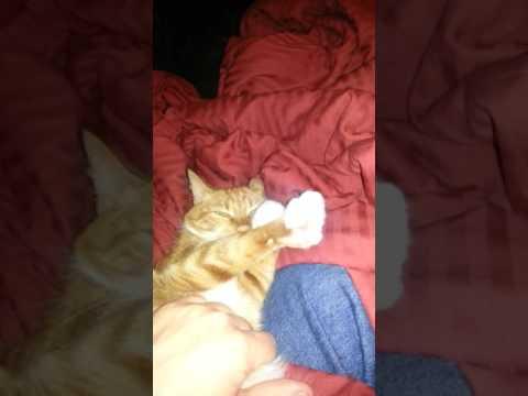 Polydactyl Cat Tenzing Air Kneading (High Fiv... Eight?)