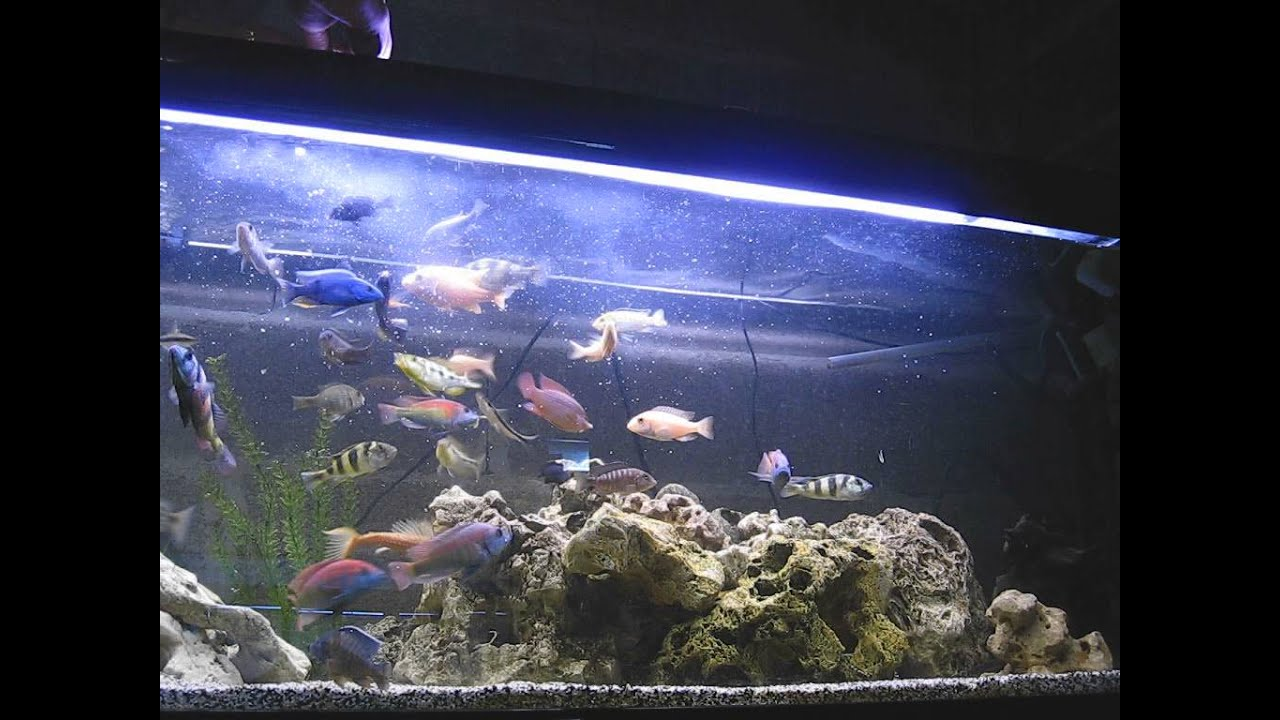 Alimentation Aquarium Cichlides Américain Africain Fishroom Youtube