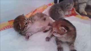 Золотые котята из питомника MiuMiuClub*Ru