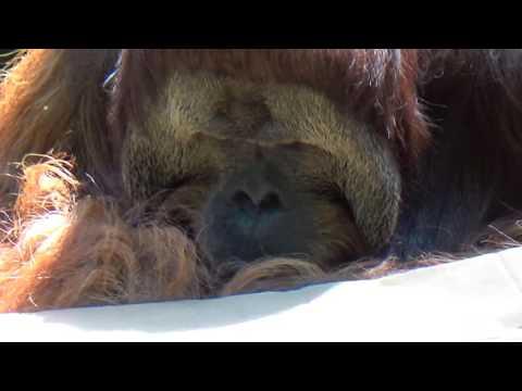 Orangutan at Cincinnati Zoo