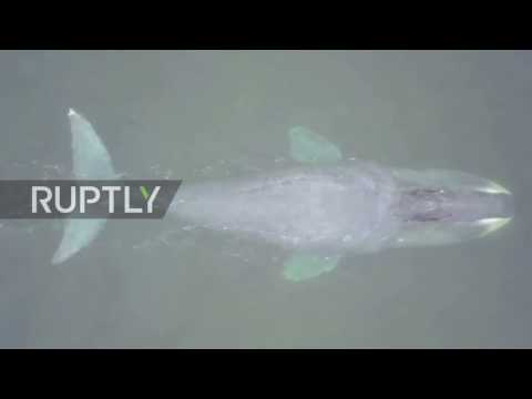 Russia: Baby Bowhead whale left stranded and injured in Sea of Okhotsk