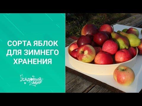 Сорта яблок для зимнего хранения | хранятся | хранения | татьяна | ранятся | погребе | викторо | яблоки | зимние | зимнее | яблок