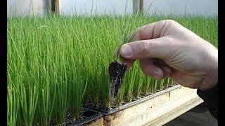 УСКОРЕННЫЙ СПОСОБ РАССАДЫ ЛУКА ПОРЕЯ ! Рассада посев выращивание из семян подкормка