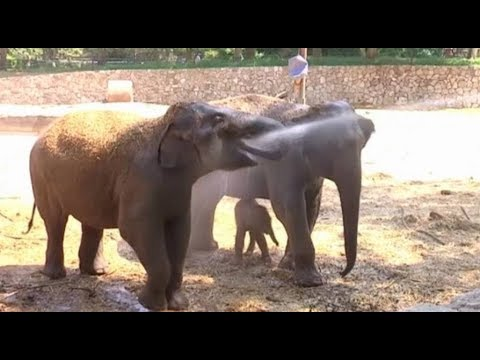 Asian Elephant Skin Trade Growing / Malaysia's History Ahead of the General Election on May 9