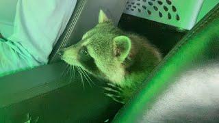 Don't Bring a Raccoon Through the Car Wash!
